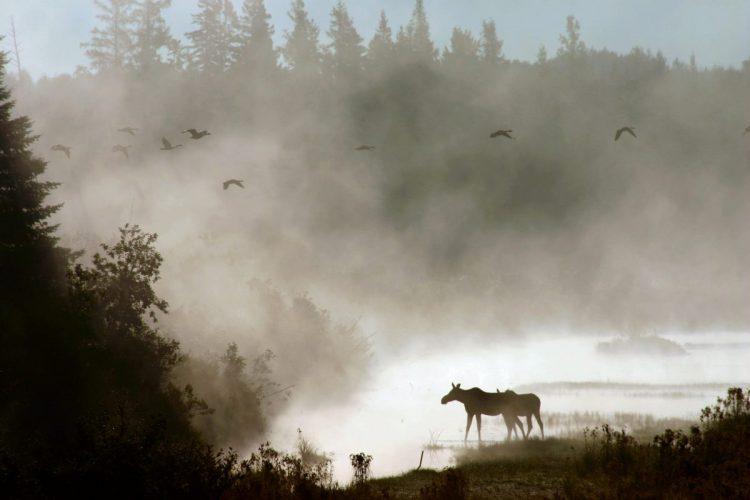 Moose at Aroostook NWR