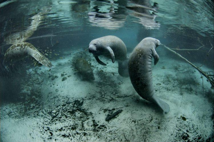 Florida_Manatee_Modern_Conservationist