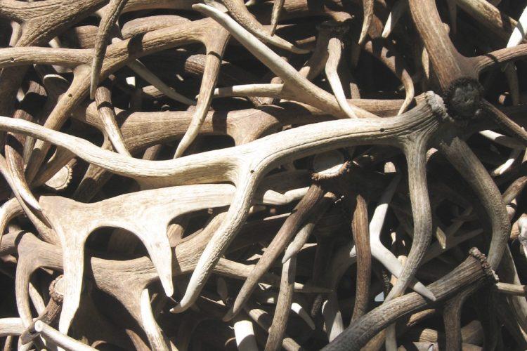 Deer antler sheds (photo by Ken Lund via flickr.com)
