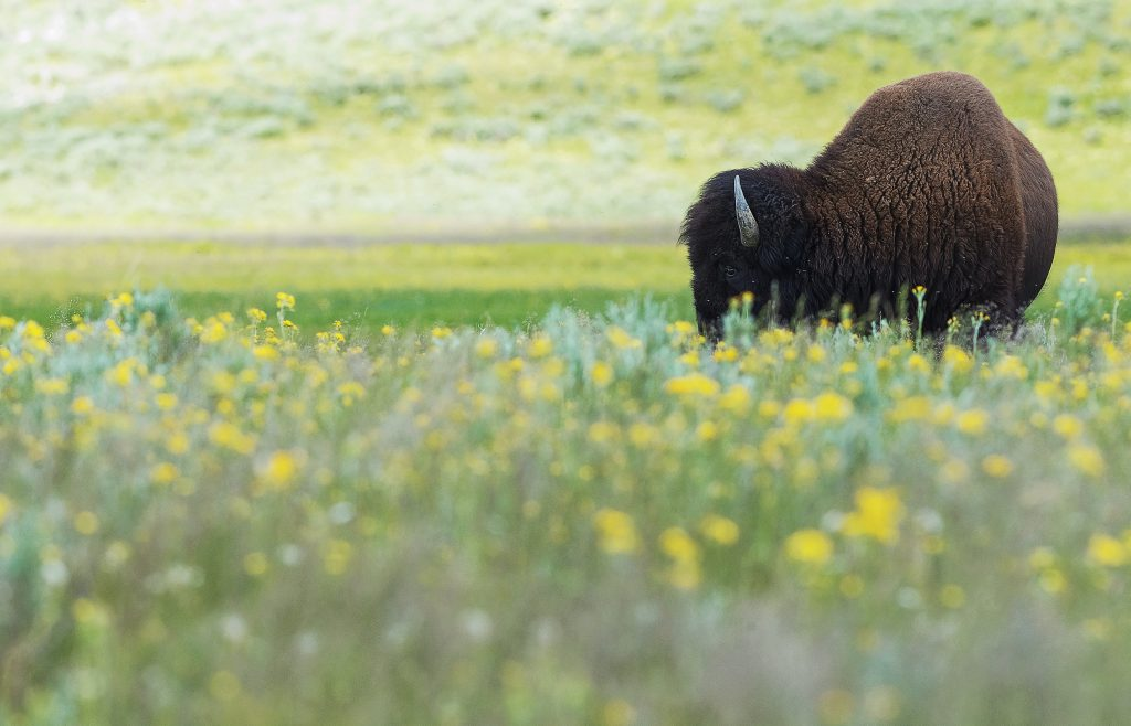 Buffalo grazing in tall grass amoungst yellow flowers.