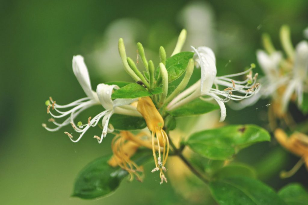 Close up, detailed shot of Japanese Honeysuckle.
