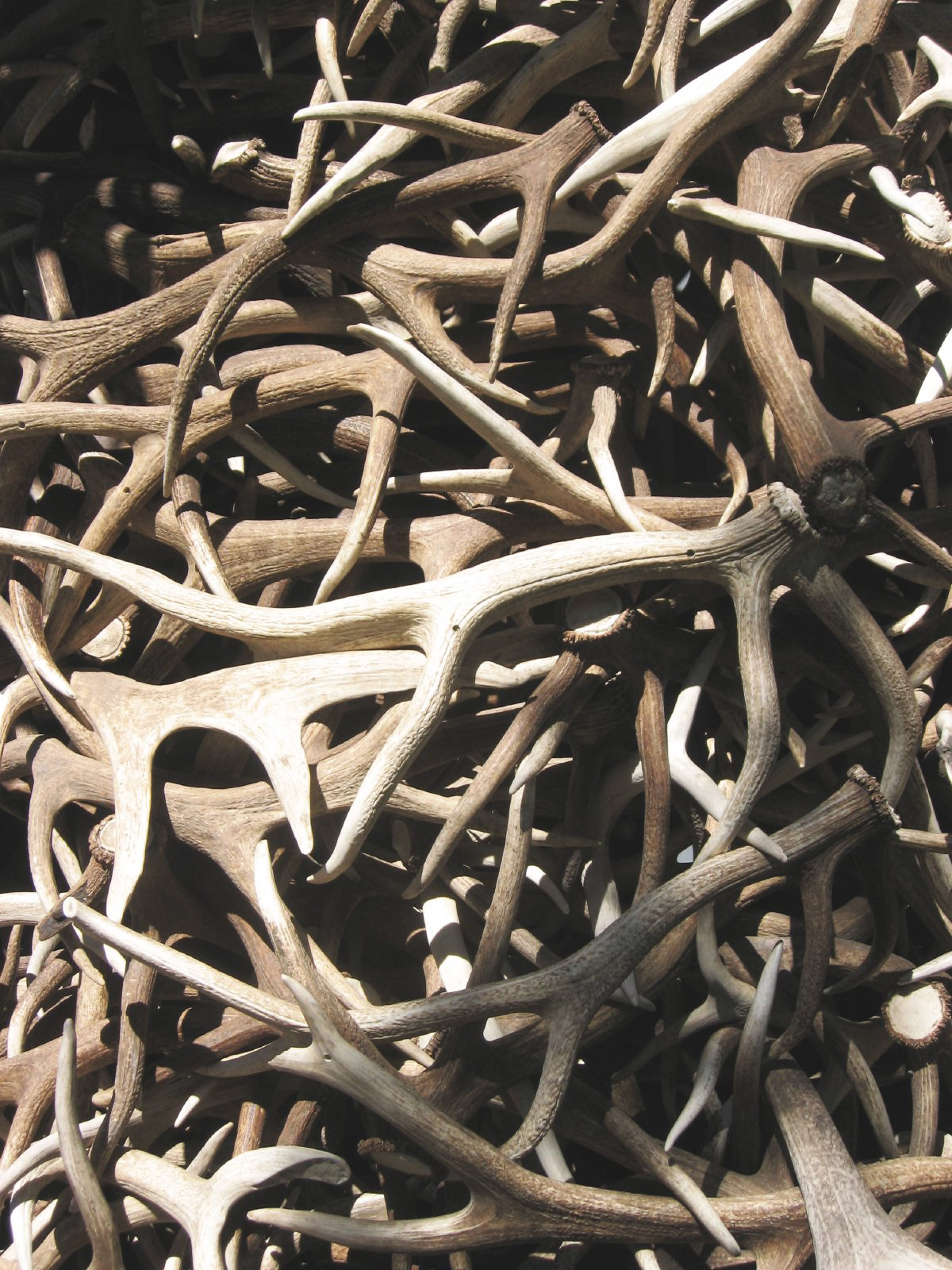 Pile of shed Antlers.