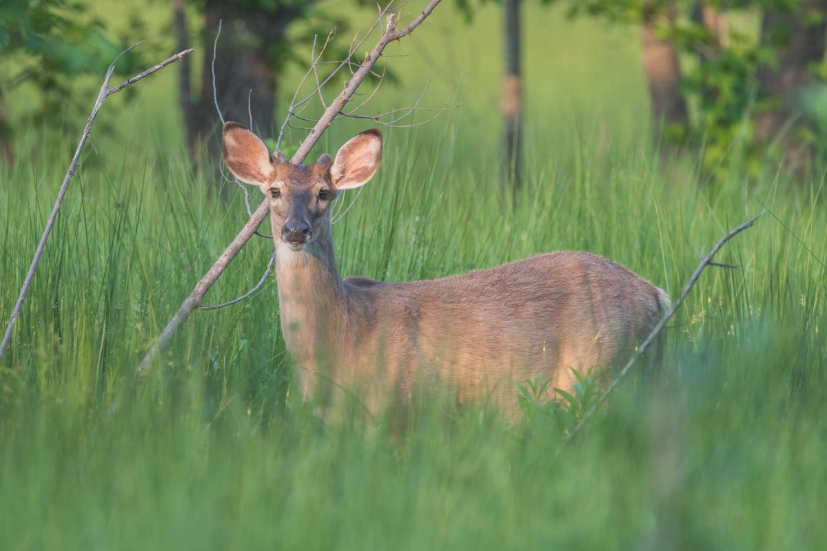 White tail deer in tall grass looking at the camera.