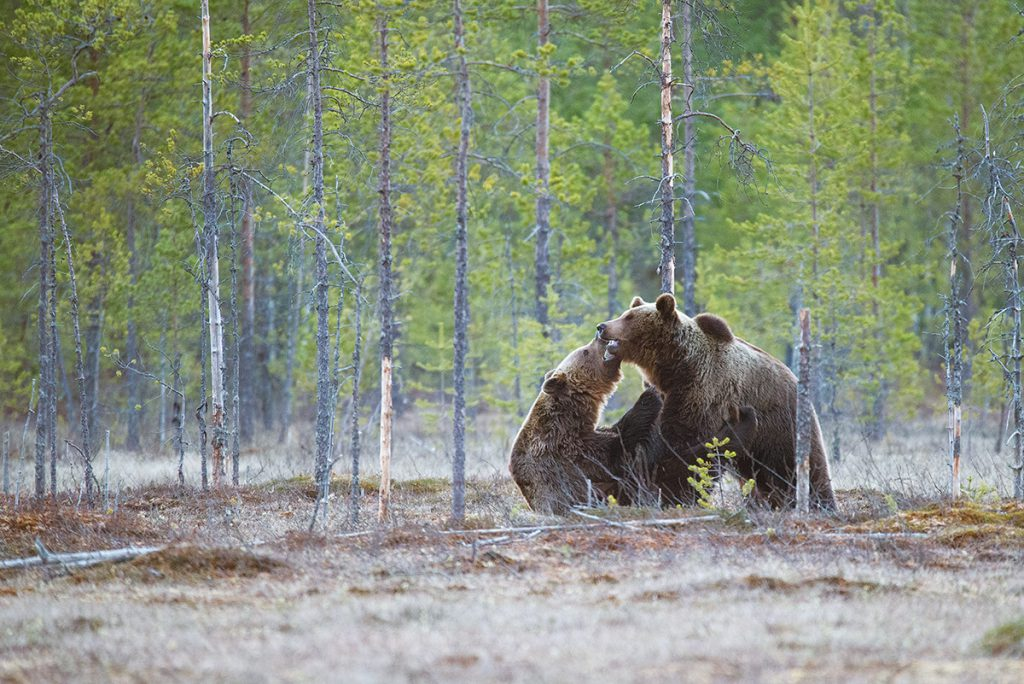 Two grizzlies wrestling amoungst small, bare trees.