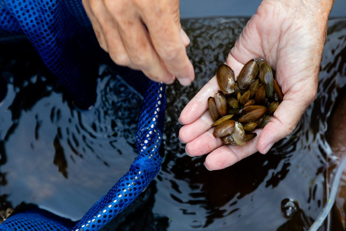 A cluster of zebra mussels held by a scientist