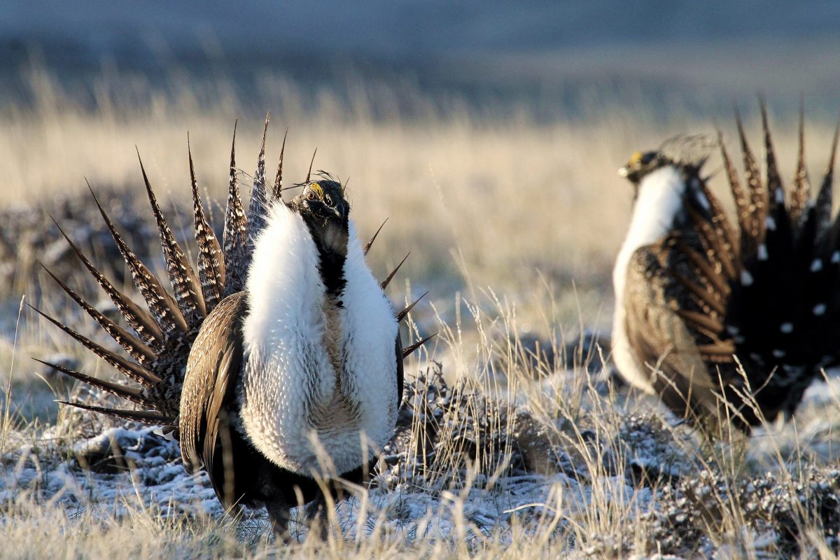 Sage Grouse performing mating ritual.