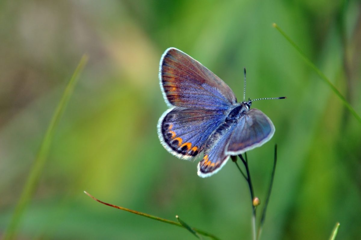 Karner Blue Butterfly resting on the tip of a small branch.
