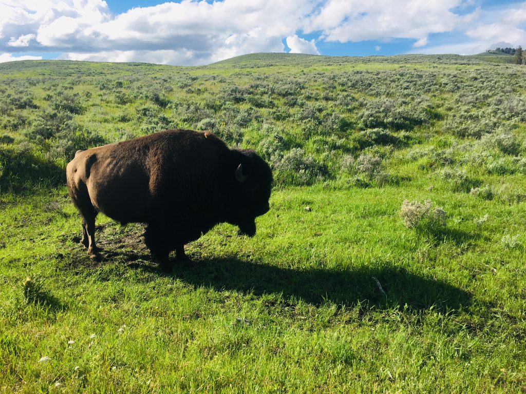 bison standing in a prairie