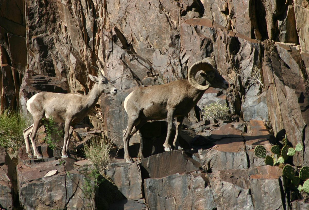 Two bighorn sheep on the edge of a rock face in Grand Canyon National Park