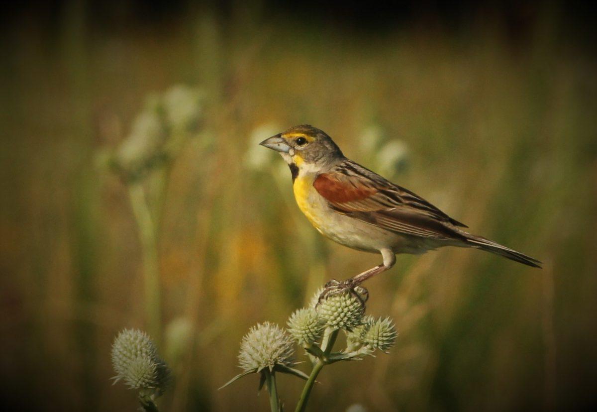 A dickcissel bird sits on a prairie plant