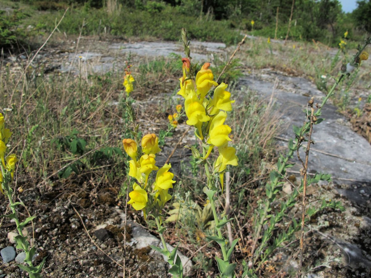 The invasive Dalmatian toadflax plant