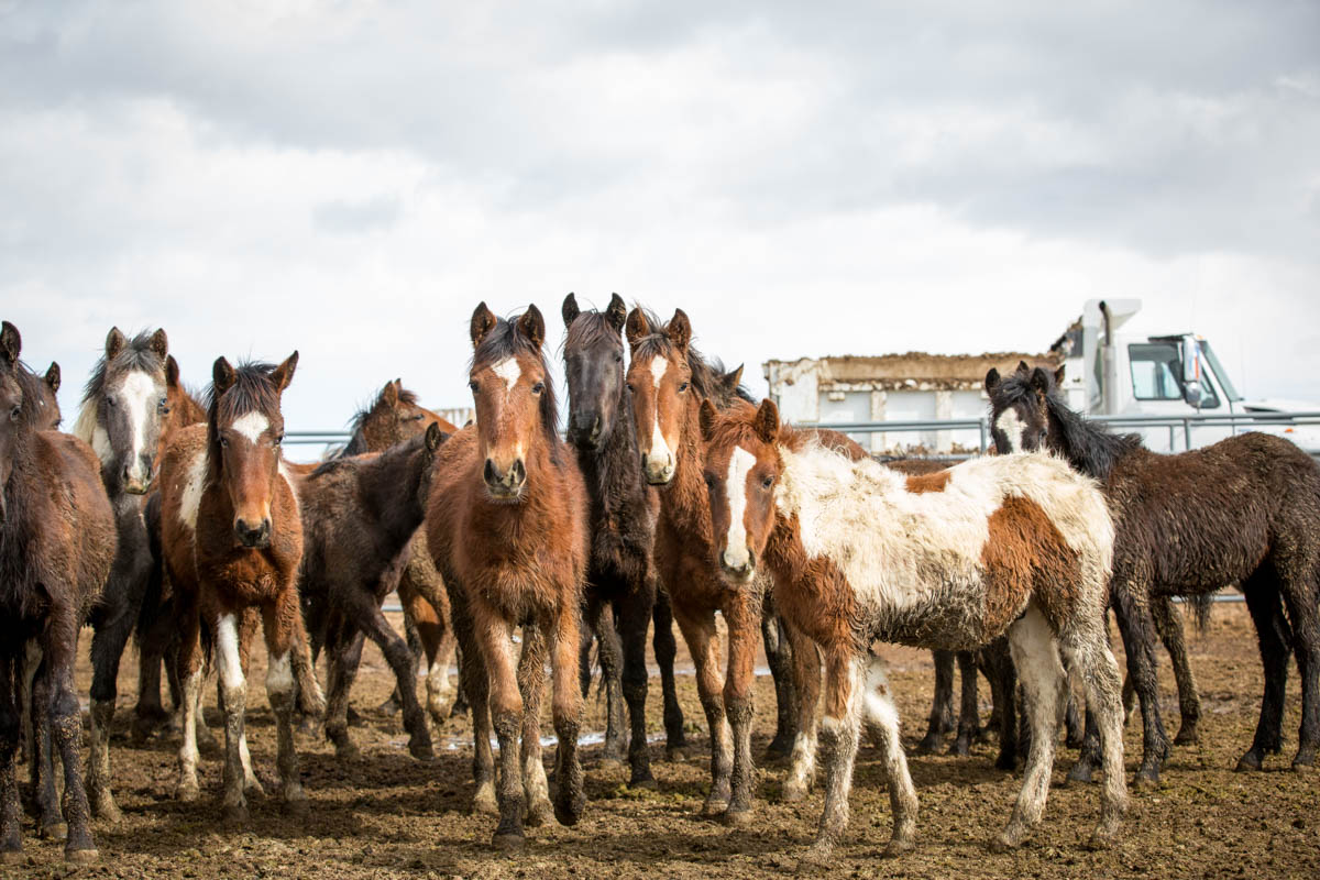 Wild horses in a BLM holding facility