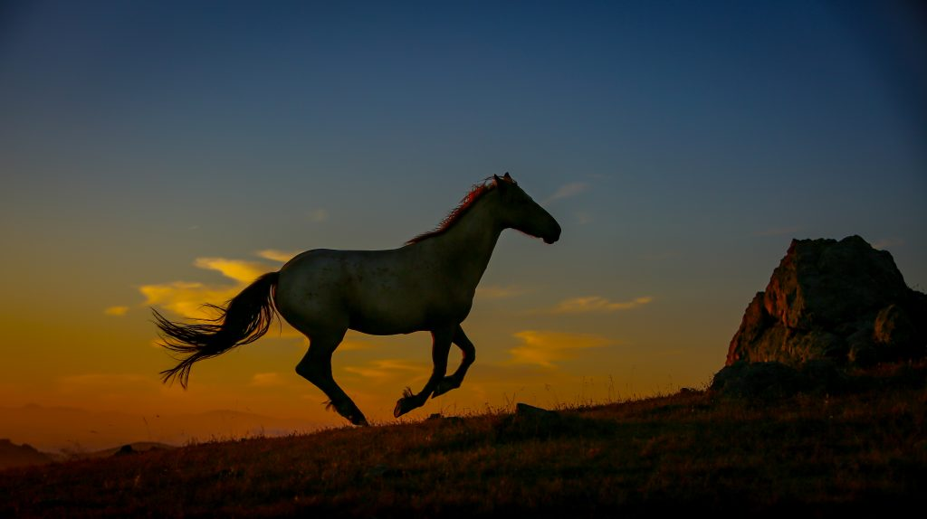 A wild horse gallops in the setting sun
