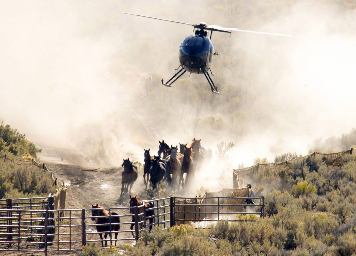 A helicopter rounds up horses