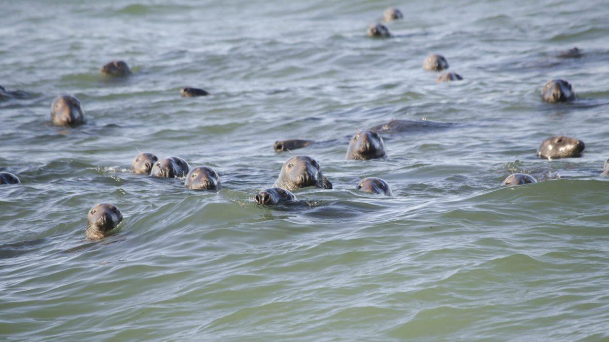 Gray seals in the ocean