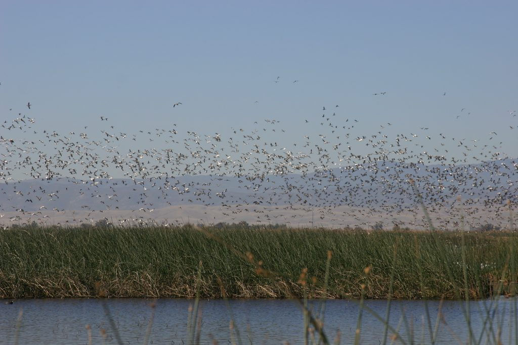 Waterfowl erupt from wetlands at Sacramento National Wildlife Refuge