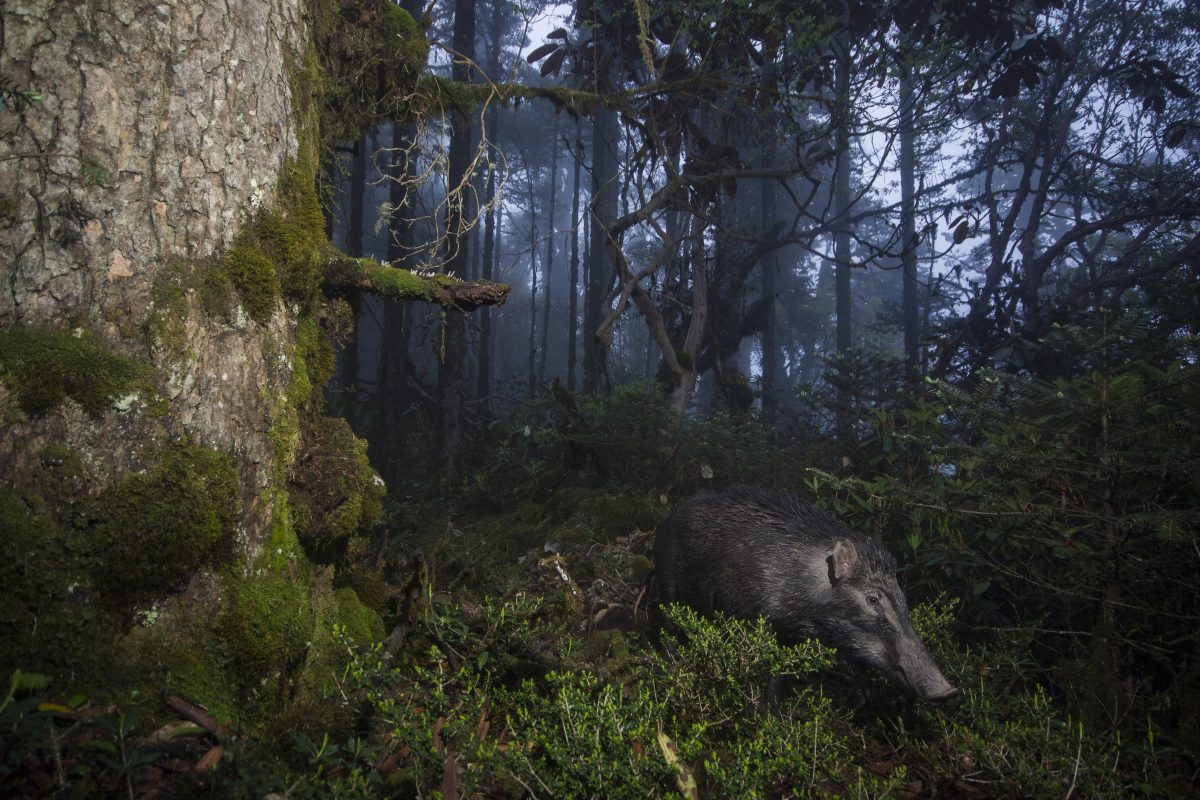 A wild boar caught on a camera trap in Bhutan