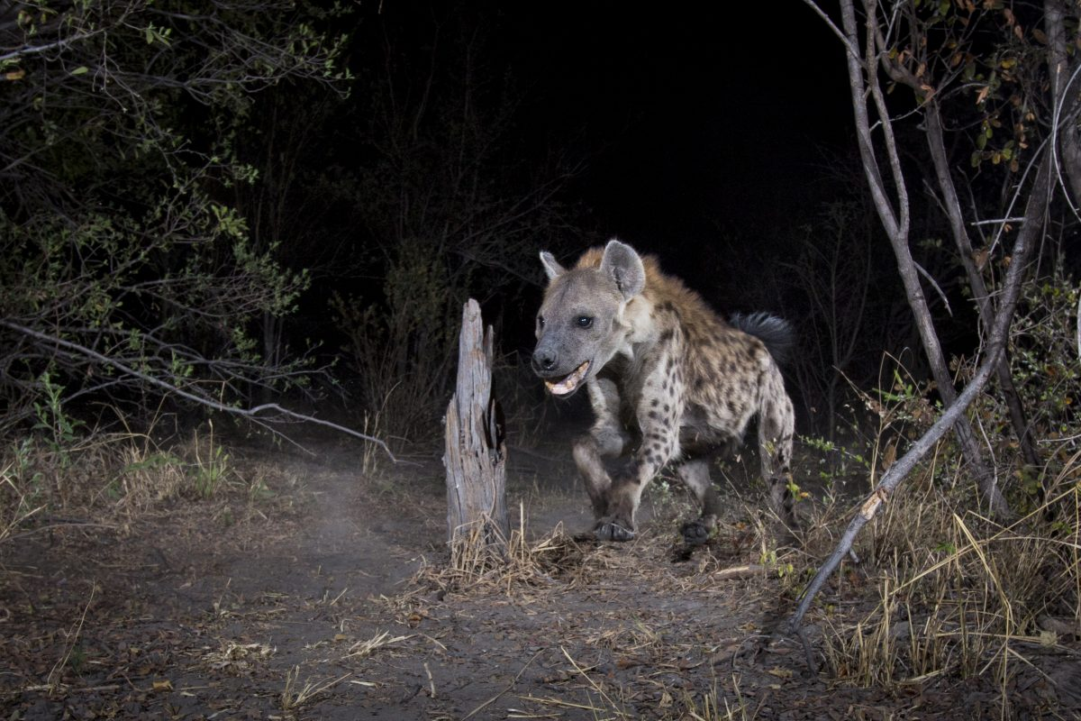 A Spotted Hyena caught on camera trap in the wild
