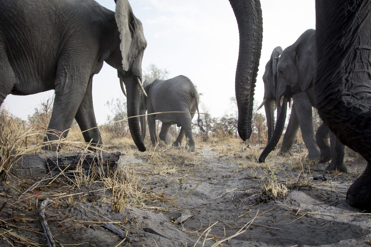 Elephants caught on camera trap in the wild