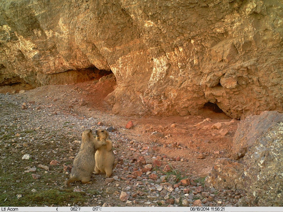 Marmots caught on camera trap in the wild